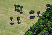 Castanheira/Brazil nut trees remain in an agricultural field cleared of Amazon rainforest southwest of Santarem.