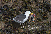 A Great black-backed gull feeds on an Atlantic puffin on Skomer Island, a National Nature Reserve of Wales, U.K.