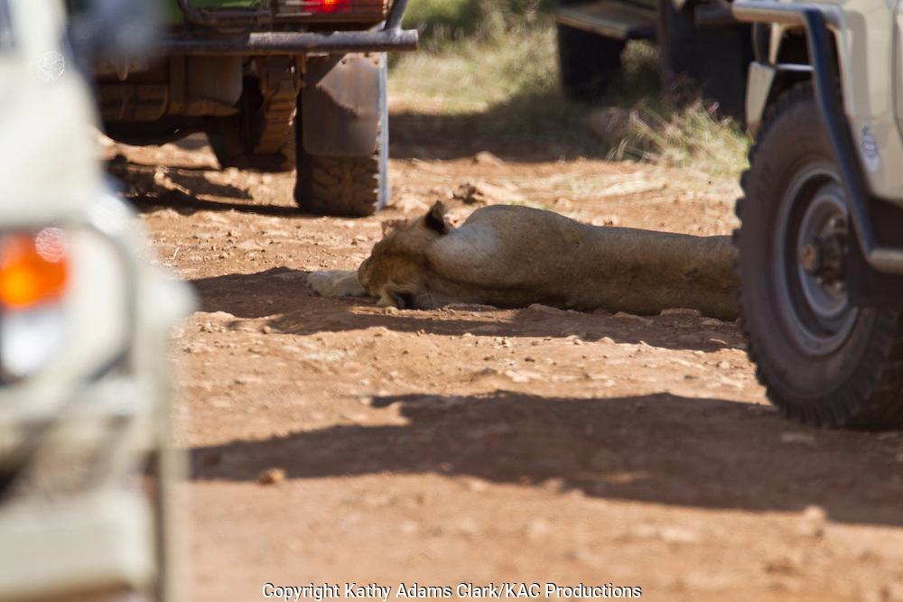 African lion, Panthera leo, in the shade of safari vehicles, Ngorongoro Conservation area, Ngorongoro Crater, Tanzania.