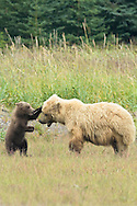 Grizzly Bear Cub Playing with Mother Sow, Lake Clark National Park, Alaska