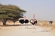 Israel, Aravah, The Yotvata Hai-Bar Nature Reserve breeding and reacclimation centre. Ostrich, Struthio camelus