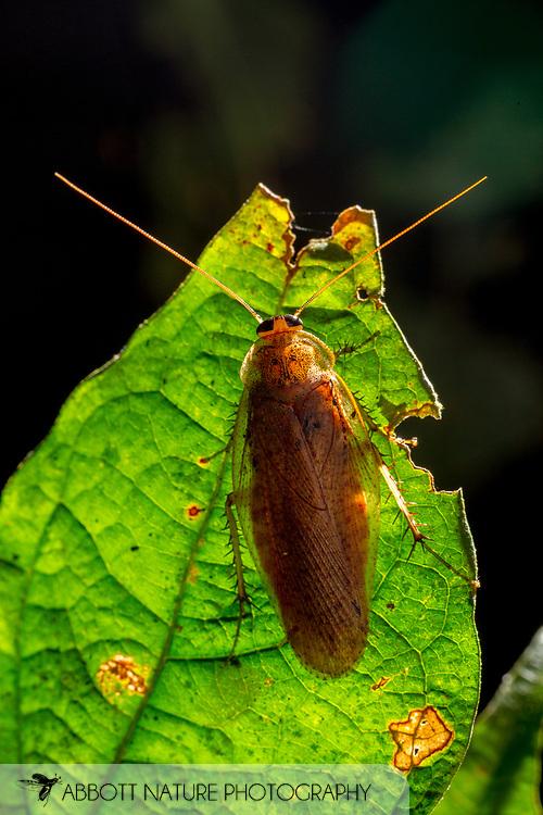 Cockroach<br /> Peru: Departamento de Madre de Dios Co.<br /> Refugio Amazonas on the Tambopata River<br /> 30-Jul-2016<br /> J.C. Abbott #2857 &amp; K.K. Abbott