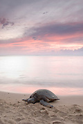 A Hawaiian Green Sea Turtle on the beach at sunset. Long exposure for a smooth ocean scene. The sunset creates a calming pink glow in the scene.
