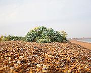 Vegetated shingle ecosystem with sea kale, Crambe maritime, growing at Shingle Street, Suffolk, England, UK