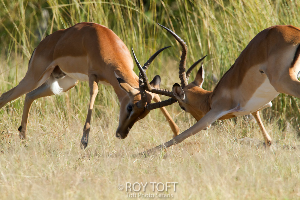 A pair of impalas (Aepyceros melampus), sparring.
