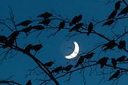 Crows, crows, crows