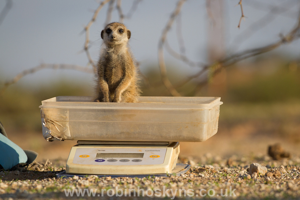 A meerkat sits in the scales as it is weighed by a researcher. they are tempted into the scales with a small crumb of egg or a drink of water.