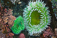 Sea anemone in tide pool at Point of the Arches, Olympic National Park