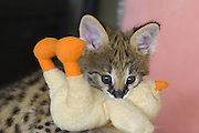 Serval<br /> Felis serval<br /> Five week old orphan serval kitten carrying plush toy duck (in same manner in which an adult would carry a rat or mouse)<br /> Tanzania