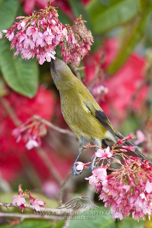 Bellbird, in blossom tree, New Zealand
