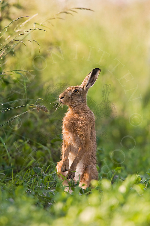 European Hare (Lepus europaeus) adult, on hind legs in field margin, feeding. Norfolk, England.