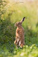 European Hare (Lepus europaeus) adult, on hind legs in field margin, feeding. Norfolk, England.