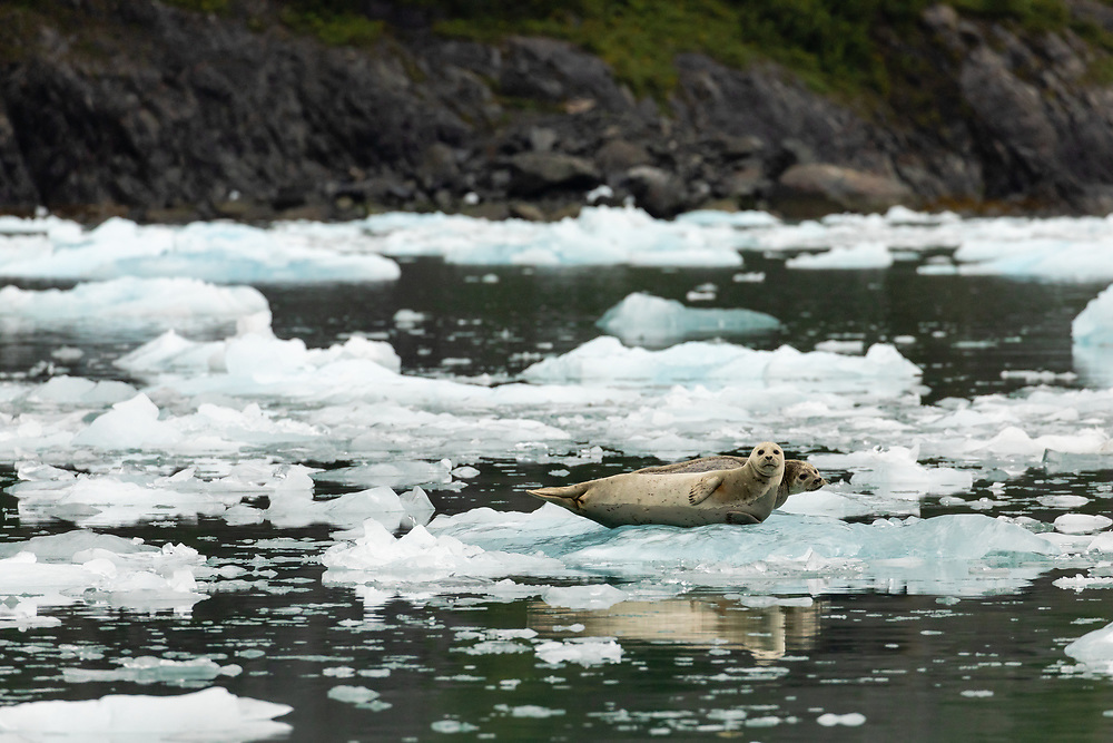 Harbor Seals (Phoca vitulina) resting on iceberg in Surprise Inlet in Southcentral Alaska. Summer. Morning.