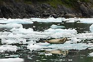 Harbor Seals (Phoca vitulina) resting on iceberg in Surprise Inlet in Southcentral Alaska. Summer. Morning.