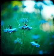 blue wild flowers in a garden in the Pacific Northwest