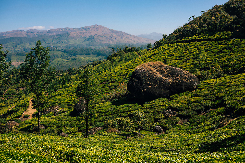 Munnar, India -- February 16, 2018: Rolling tea fields and plantations with a distant mountain backdrop in Munnar.