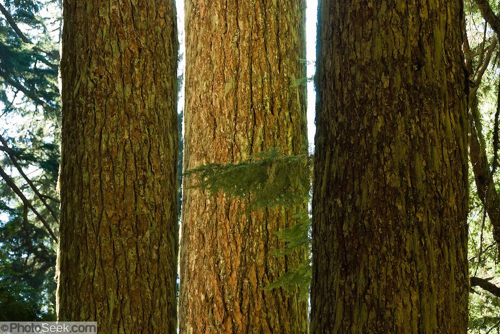 Three old growth tree trunks on Mount Dickerman, Washington, USA.