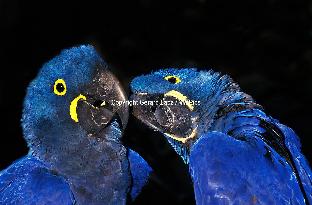 Hyacinth Macaw, anodorhynchus hyacinthinus, Adults