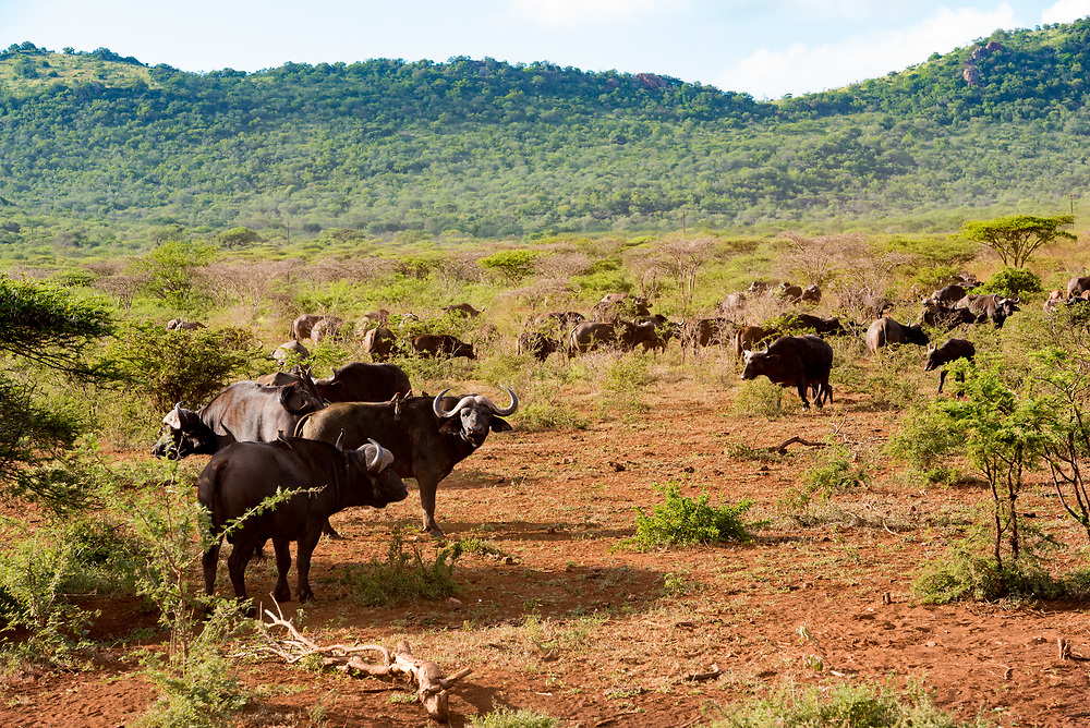 A herd of African Buffalo in the bush