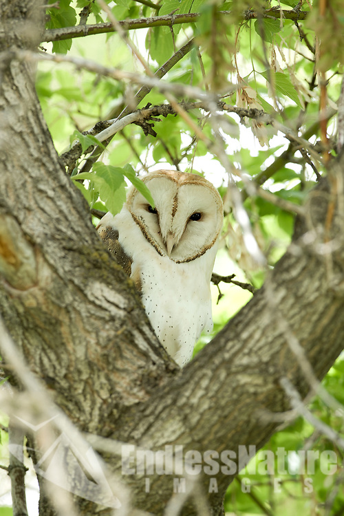 A Barn Owl caught resting in the middle of the day.