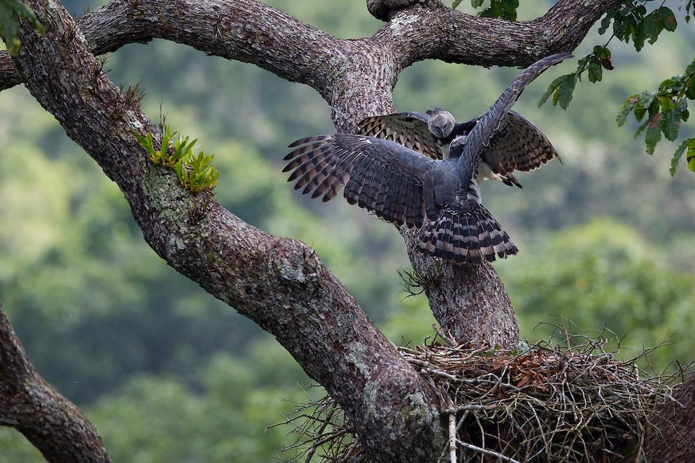 Parauapebas_PA, Brazil.<br /> <br /> Harpy eagle couple on a court behaviour inside the nest.<br /> Carajas National Forest, Para, Brazil. <br /> <br /> Foto: JOAO MARCOS ROSA / NITRO