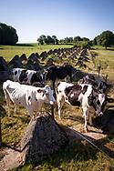 tank traps of the Siegfried line near Schmithof in the south of Aachen, cows, North Rhine-Westphalia, Germany.<br /> <br /> Panzersperren des Westwall bei Schmithof im Sueden Aachens, Kuehe, Nordrhein-Westfalen, Deutschland.