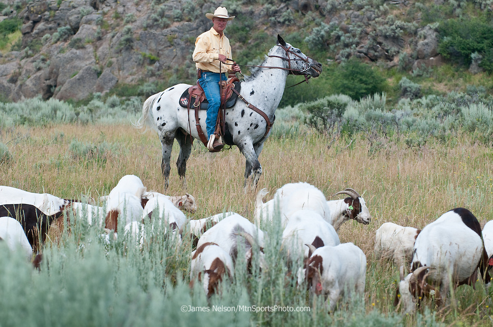 Mark Harbaugh, Patagonia fly fishing representative and goat rancher, rides herd on his chemical-free noxious weed control crew in east Idaho.