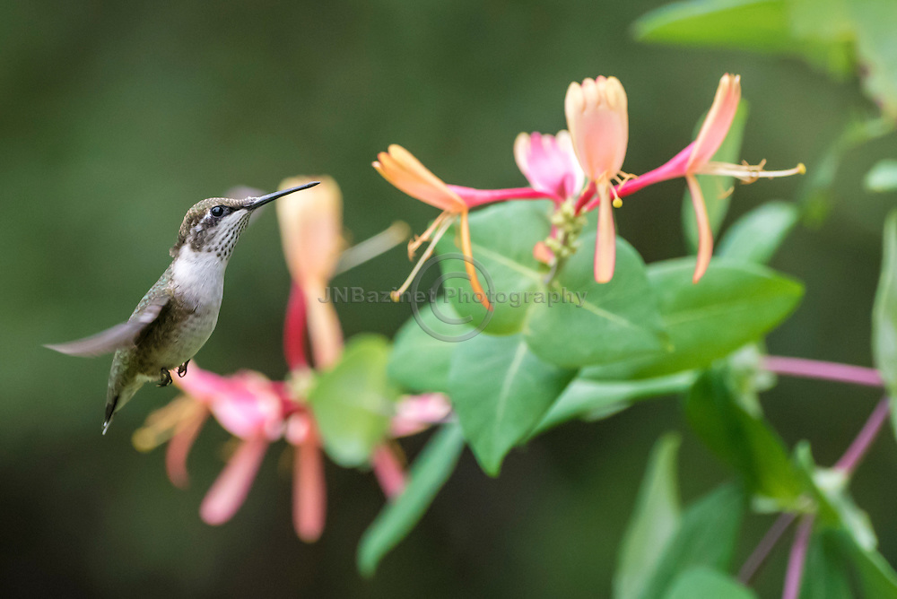 Female Ruby-Throated hummingbird approaching a branched filled with Honeysuckle flowers