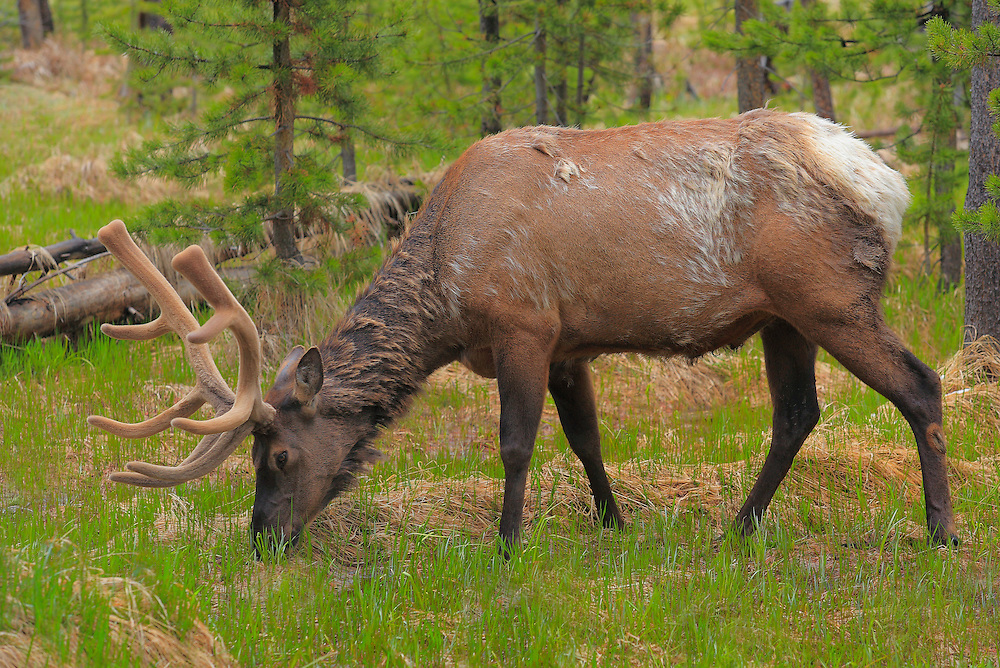 Grazing Bull Elk Forest Edge - Yellowstone National Park