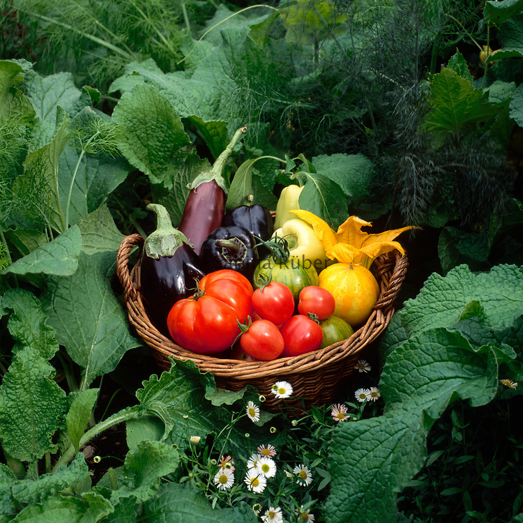 Basket of harvested vegetables including tomatoes, peppers and aubergines. The Ornamental Kitchen Garden, Hampton Court, Herefordshire