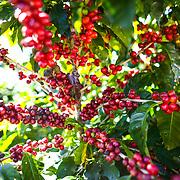 Coffee cherry grows on the Hacienda Alsacia coffee farm in Costa Rica. (Joshua Trujillo, Starbucks)