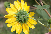 Sunflower (Helianthus annuus), Culberson County, Texas