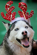 2月9日,在美国洛杉矶,为迎接节日到来,举办冰上節日狗狗服装造型比赛。一只狗等候走上冰上红地毯比赛。(新华社发 赵汉荣摄)<br /> A dog with costume waits for a red carpet strut across the ice rink during a holiday costume contest in Los Angeles, he United States, on Wednesday, December 9, 2015. (Xinhua/Zhao Hanrong)(Photo by Ringo Chiu/PHOTOFORMULA.com)<br /> <br /> Usage Notes: This content is intended for editorial use only. For other uses, additional clearances may be required.