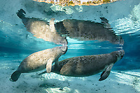 Florida manatee, Trichechus manatus latirostris, a subspecies of the West Indian manatee, endangered. Horizontal orientation. A male manatee calf surfaces with its mother and is lit by strong, late-season sunlight in the warm  freshwater of Three Sisters Springs, Crystal River National Wildlife Refuge, Kings Bay, Crystal River, Citrus County, Florida USA.