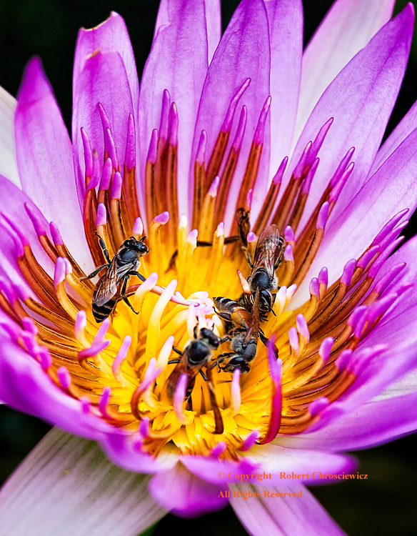 Bees caught in a feeding frenzy, deep in the heart of a purple Water Lily, in the Imperial Grand Palace, Bangkok Thailand.