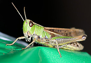 Grasshopper in the garden. RAW image from Nikon D5 processed with Nikon NX-D.