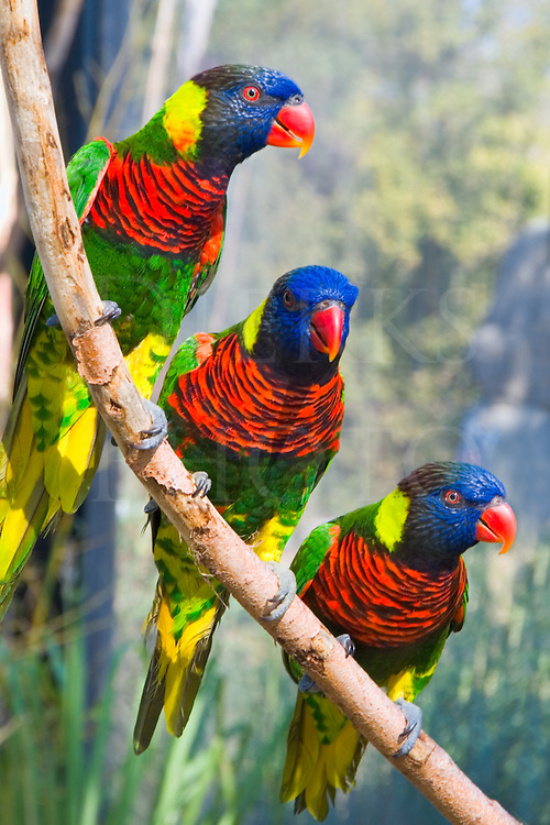 Three birds sitting on a tree limb, colorful lorikeets in a row, Lousiville Kentucky zoo.