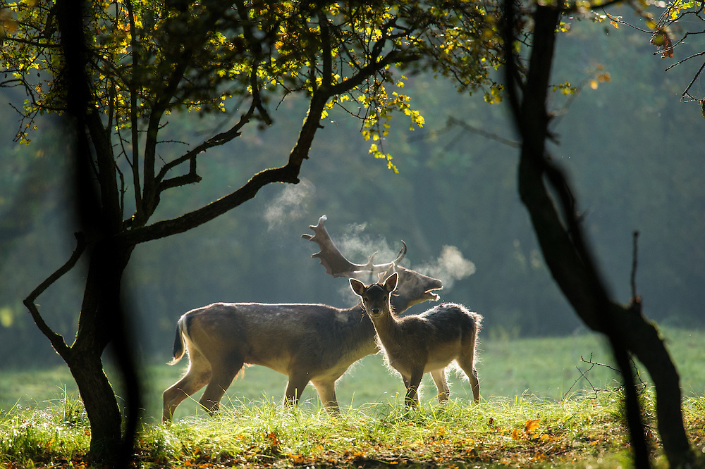 Fallow Deer (Dama dama) stag in a backlit scene bellowing to get the attention of a female deer