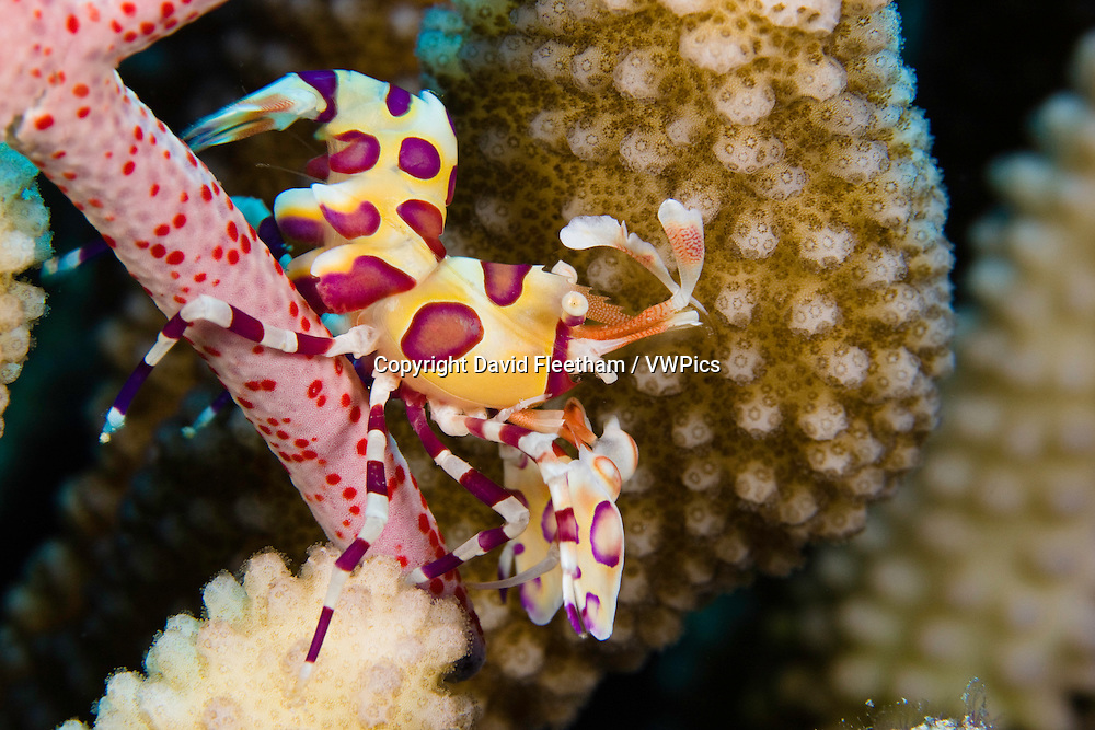 Harlequin shrimp, Hymenocera picta, feeding on a seastar.  Hawaii.