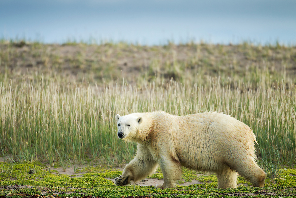 Canada, Nunavut Territory, Arviat, Polar Bear (Ursus maritimus) walking along grass-covered shoreline of Sentry Island along Hudson Bay