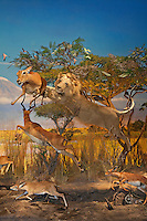 Exhibition of lion attacking at deer in museum