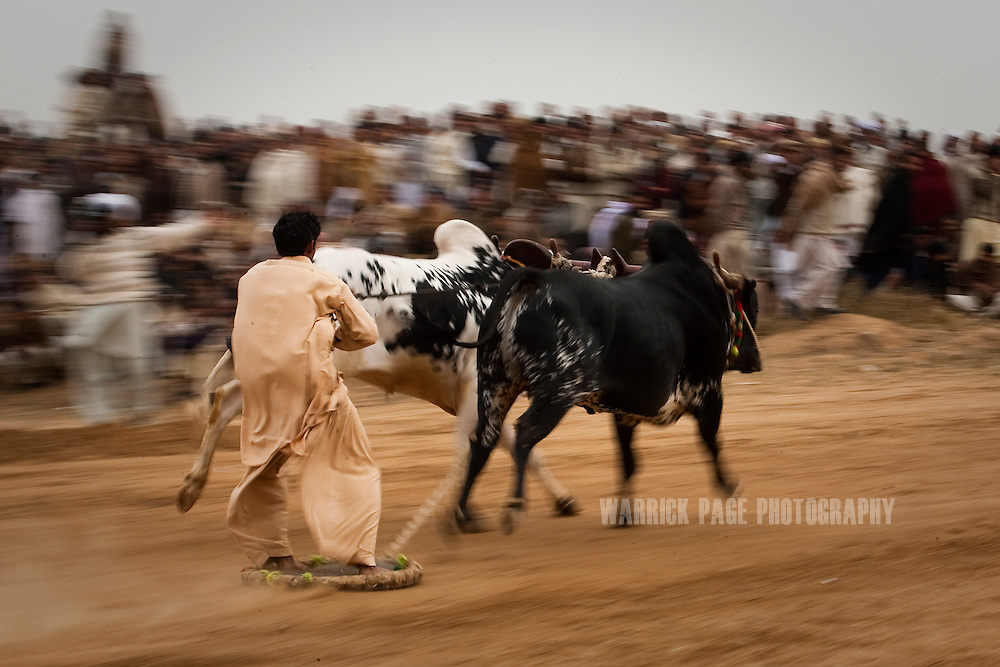 RAWALPINDI, PAKISTAN - FEBRUARY 5: A bull jockey races past the crowd at a bull racing event on February 5, 2011, in Rawalpindi, Pakistan. Bull racing takes place during the winter months throughout Pakistan where many come to watch or gamble on the contenders. (Photo by Warrick Page)