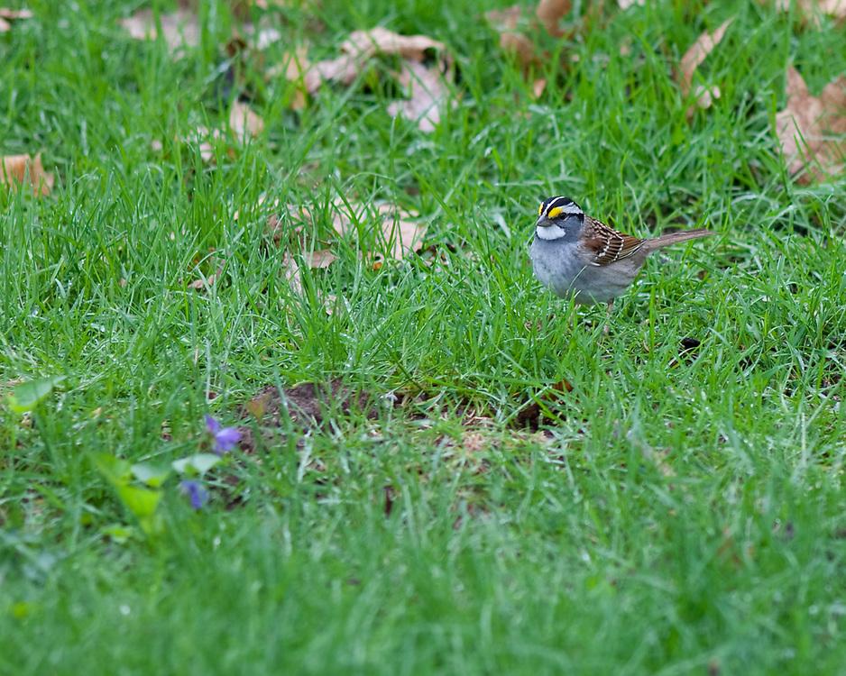 White-throated Sparrow (Zonatrichia albicollis), male