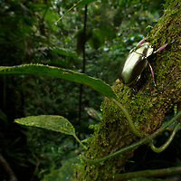 Looking as if it were dipped in liquid gold, a jewel scarab (Chrysina argenteola) almost seems more mineral than insect. Renowned for their remarkable colorations, Chrysina beetles fetch high prices among collectors, with some species and color variations fetching hundreds of dollars. Recent research into the metallic nature of their exoskeletons reveals that it possesses unique properties in the way it reflects polarized light, essentially being 'optically ambidextrous'. The reason why they have such unusual colorations still remains a mystery, although it has been suggested that the highly reflective surface may serve to camouflage them under the right lighting conditions, or even perhaps dazzle predators. Canandé Reserve, Ecuador.