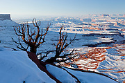 Old tree at Green River Overlook in Canyonlands National Park in winter