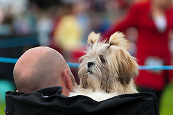 © Licensed to London News Pictures. 20/08/2017. Llanelwedd, Powys, UK. A small dog breed is seen at the judging ring on the last day of The Welsh Kennel Club Dog Show, held at the Royal Welsh Showground, Llanelwedd in Powys, Wales, UK. Photo credit: Graham M. Lawrence/LNP