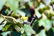 Sri Lanka White Eye