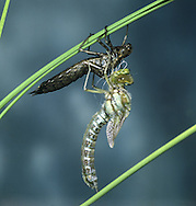 Southern Hawker - Aeshna cyanea - adult emerging from nymphal skin
