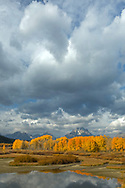 Bathed in dramatic stormlight, a row of aspens light up the landscape at Oxbow Bend in Grand Teton National Park.