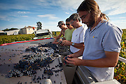 Wine harvest, vendange, Cabernet Franc grapes sorted by hand at Chateau Lafleur at Pomerol in Bordeaux region of France